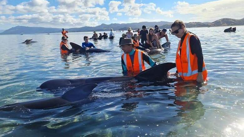Paus Pilot terdampar di Selandia Baru