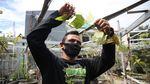 Wuih, Ada Kebun Anggur di Duren Sawit Jakarta