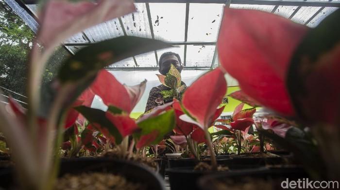 Yadin (43) mengecek tanaman hias di Meruya, Jakarta Barat, Senin (1/3/2021).