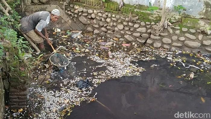 Ribuan ikan berbagai jenis di Saluran Sungai Sengkarang, Kabupaten Pekalongan, Senin (1/3/2021).