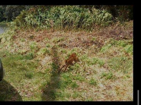 Helikopter TNU AU membantu proses lepasliar harimau Sumatera di Sumbar