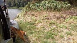 Harimau Betina Numpang Heli TNI AU Pulang ke Hutan Sumatera