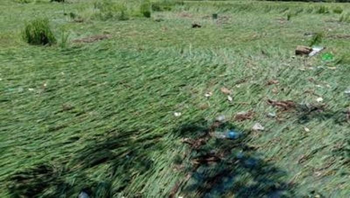 Lahan padi terdampak akibat banjir bandang di Dompu (Faruk/detikcom)