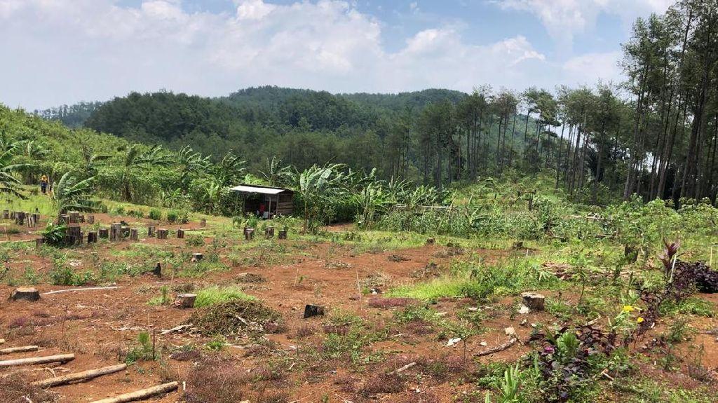 Tolong! Pak Kasilun Hilang Diduga Saat Cari Kayu di Hutan Pinus Banyumas