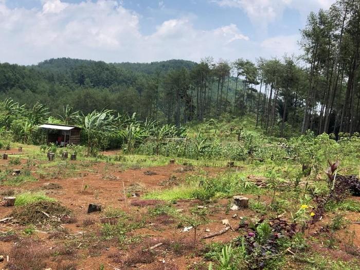 Lokasi hilangnya Kasilun di hutan pinus Banyumas, Selasa (2/3/2021).