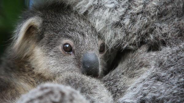 Bayi koala berjenis Joey yang diberi nama Humphrey ini baru berusia delapan bulan.