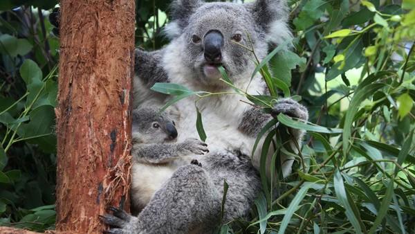 Humphrey adalah bayi koala ketiga yang lahir dari induknya, sebagai bagian dari program pengembangbiakan koala Taronga.