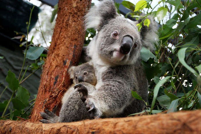 SYDNEY, AUSTRALIA - MARCH 02: Koala joey Humphrey is comforted by mother Willow at Taronga Zoo on March 02, 2021 in Sydney, Australia. Eight-month-old Humphrey is the first koala joey born at Taronga Zoo in over a year, and only recently emerged from his mother Willows pouch. Koala joeys stay in their mothers pouch for up to 6 months and it is only from around that age that they begin to emerge and attach themselves to their mothers back. (Photo by Lisa Maree Williams/Getty Images)