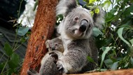 Gemas! Kebun Binatang di Australia Punya Bayi Koala Baru