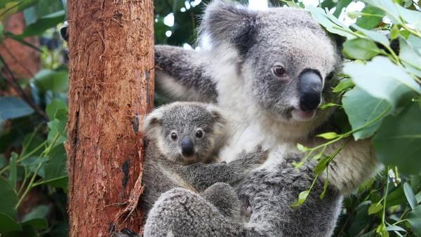 Penampakan anak koala dan ibunya di Kebun Binatang Taronga, Sydney, Australia, Selasa (2/3/2021) waktu setempat.