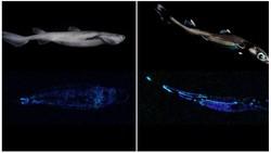 Ilmuwan Temukan Spesies Hiu Glow in the Dark