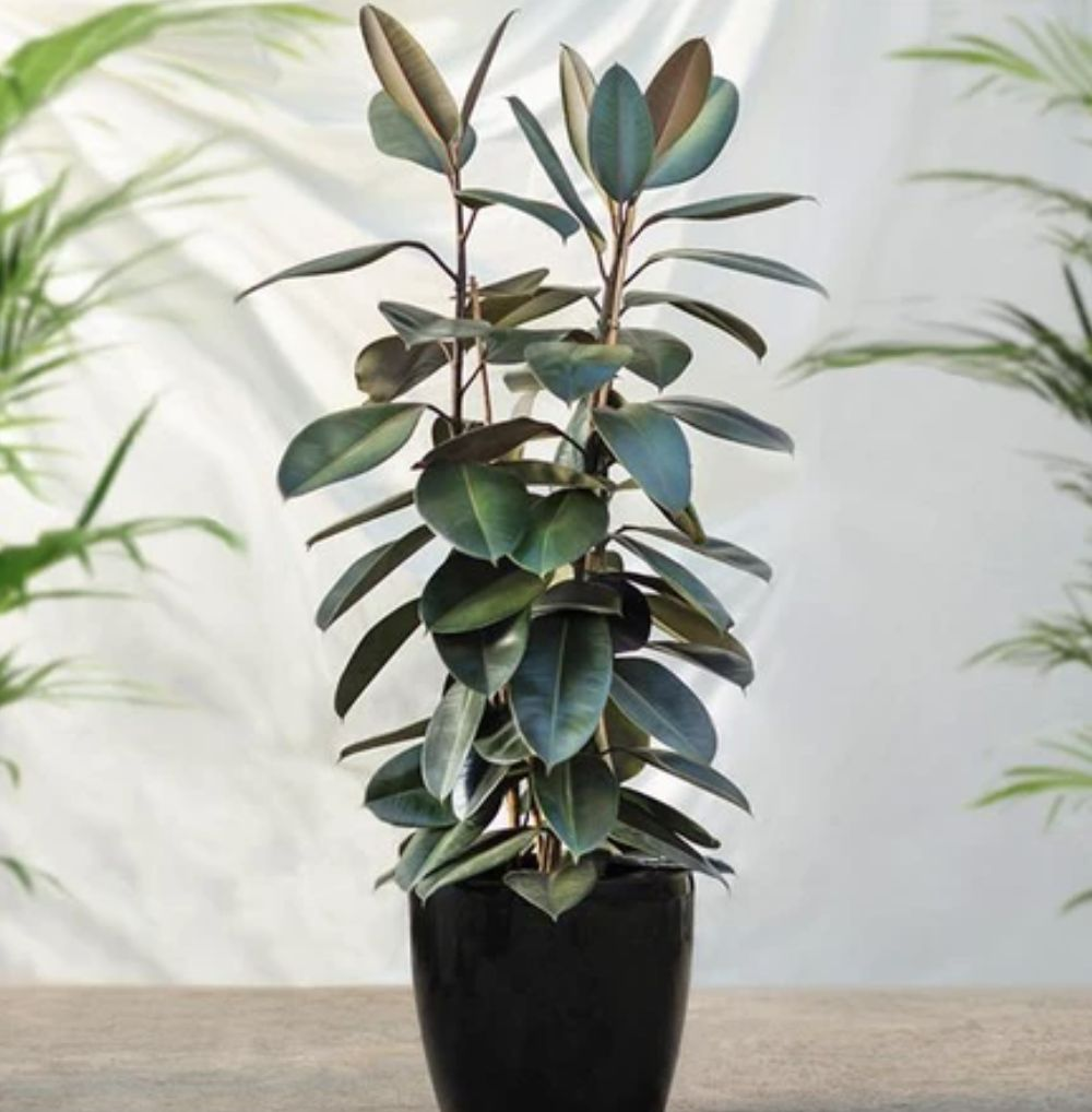 Rubber Plant. Ist
