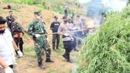 TNI-Polri di Aceh Musnahkan 5 Hektare Ladang Ganja, 1 Pemilik Ditangkap