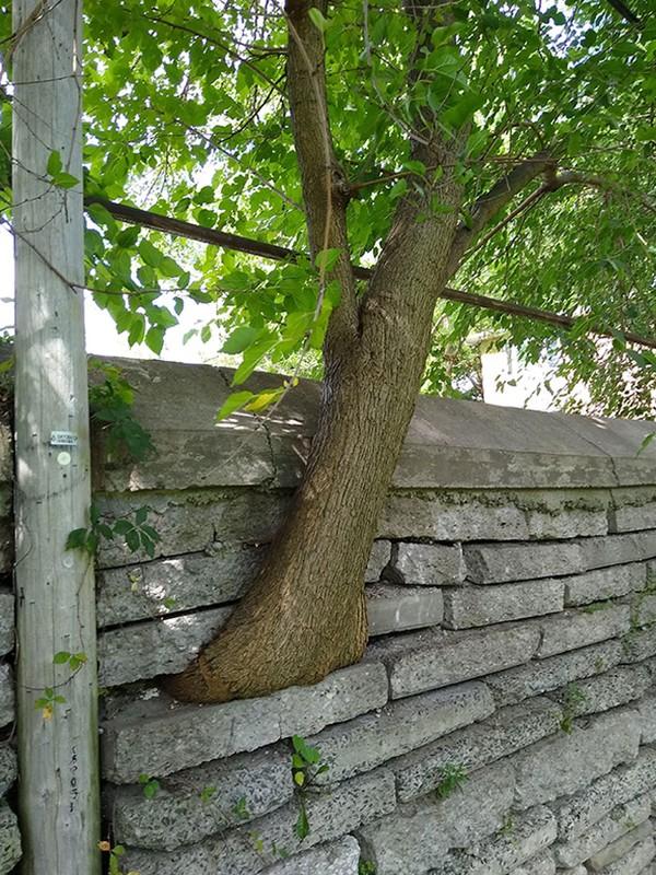 Pohon tumbuh di antara tembok bebatuan.