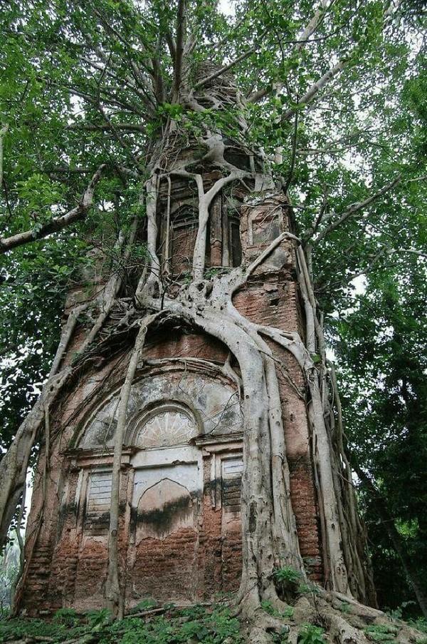 Kuil Siwa yang dibungkus erat oleh Pohon Bodhi di Bangladesh.