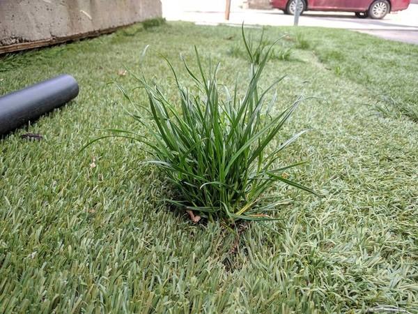 Rumput asli yang tumbuh di rumputan plastik.