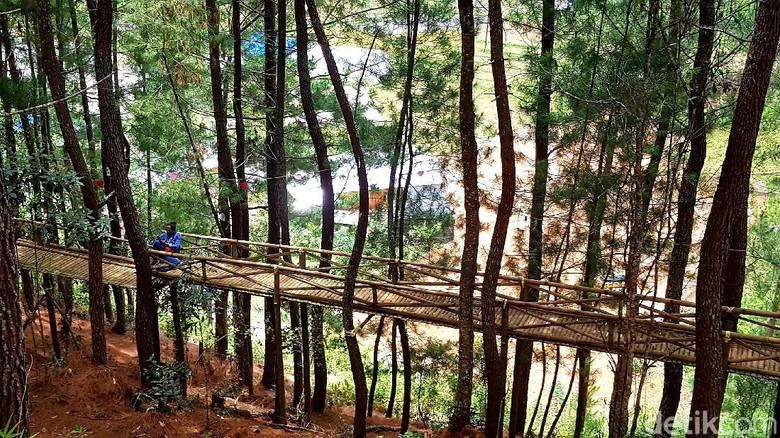 Hutan pinus Lenong Mamasa