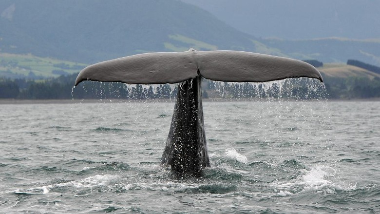 A Sperm Whale dives off the coast of New ZealandKaikoura