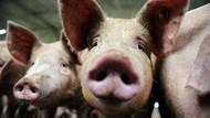 Jutaan Babi di China Mati, Harga Semua Daging di Tingkat Global Bisa Naik