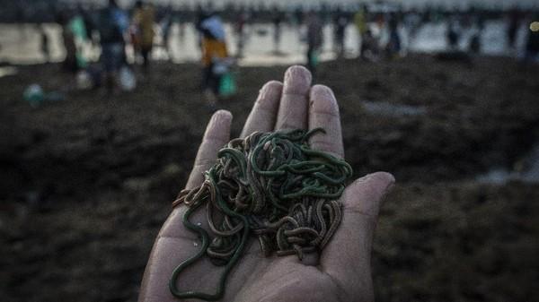 Menariknya, Nyale diketahui muncul sekali setahun di pantai selatan Lombok.