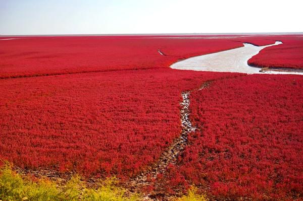 Padang rumput hijau akan berubah berwarna merah pada musim gugur alias setahun sekali. (Getty Images/iStockphoto)