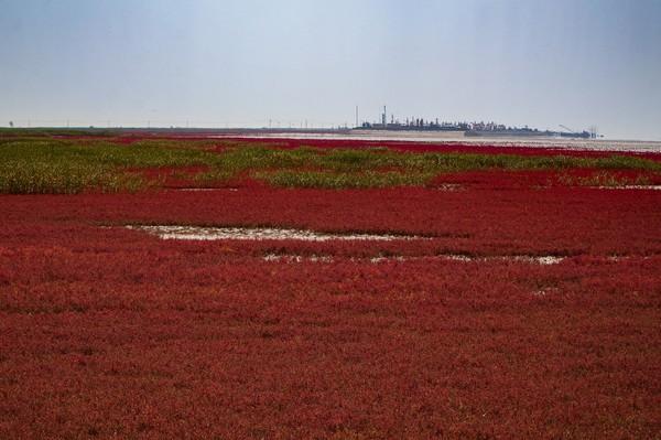Red Beach berada di Panjin, China. Yang membuatnya unik tentu saja warnanya yang semerah darah. (Getty Images/iStockphoto)