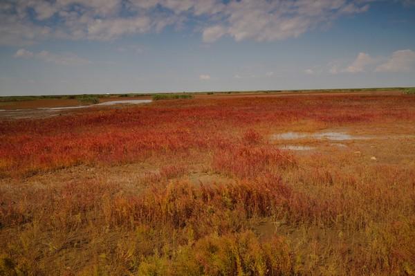 Hal ini dikarenakan pasir pantai yang mengandung saline dan alkaline. Sehingga tanaman yang tumbuh di sana menjadi merah. (Getty Images/iStockphoto)