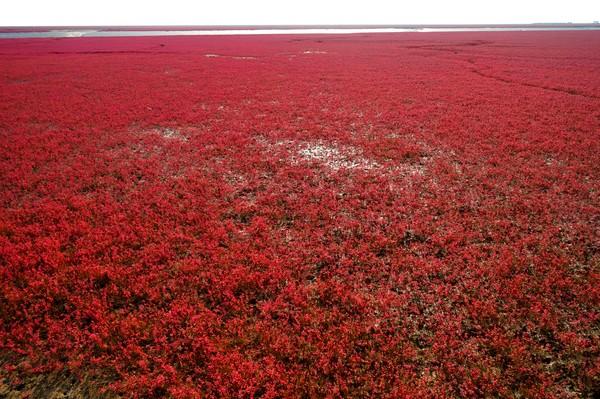 Namun ternyata yang merah bukanlah air lautnya, tapi padang rumput di atas pasir pantai. (Getty Images/iStockphoto)