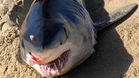 Hiu Ditemukan Mati di Pantai Meksiko, Ternyata Dibunuh Ikan Pari