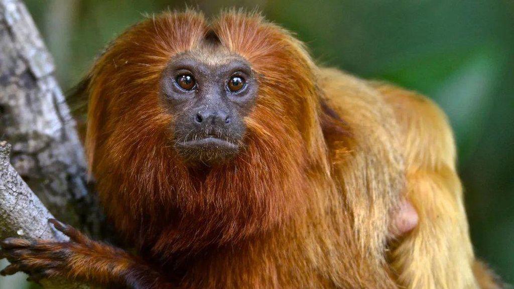 Ketika Vaksinasi Monyet Dapat Menghentikan Pandemi