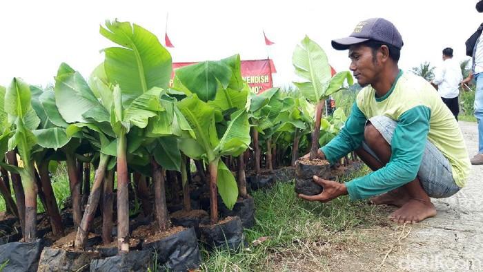 Pemerintah Desa (Pemdes) Cermo, Boyolali, membuat terobosan. Melalui Badan Usaha Milik Desa (BUMDes), mengembangkan perkebunan pisang cavendish.