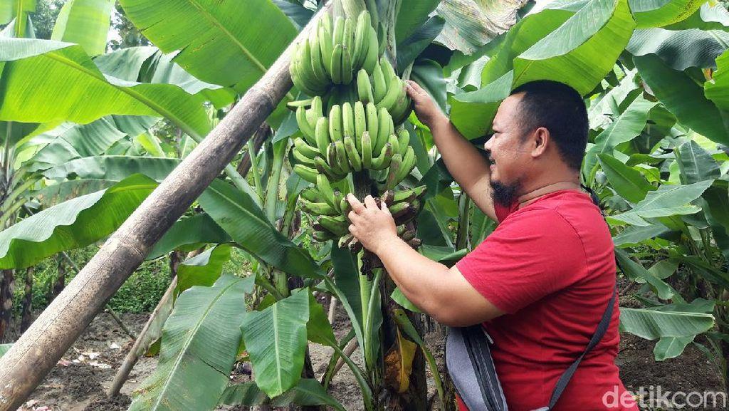 Menengok Kebun Pisang Cavendish Garapan BUMDes di Boyolali