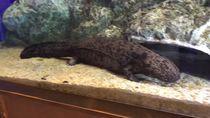 Selamat Jalan Salamander Raksasa Terbesar di Jepang