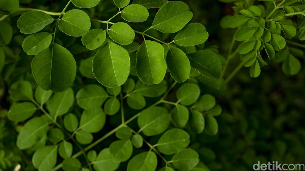 Daun kelor sering kali diibaratkan dengan hal-hal gaib, mulai dari peluntur jimat hingga mengusir sihir. Padahal, daun yang satu ini sebenarnya punya banyak manfaat.