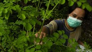 Warga Bantul Sulap Daun Kelor Jadi Makanan hingga Masker