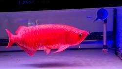 4 Jurus Rawat Arwana Super Red Biar Harganya Tembus Ratusan Juta