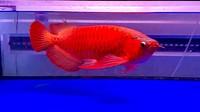 Bisnis Arwana Super Red Bisa Raup Ratusan Juta, Segini Modalnya