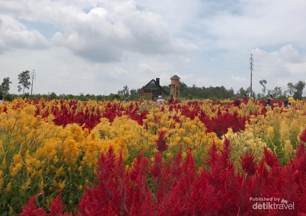 wisata kebun bunga celosia belitung