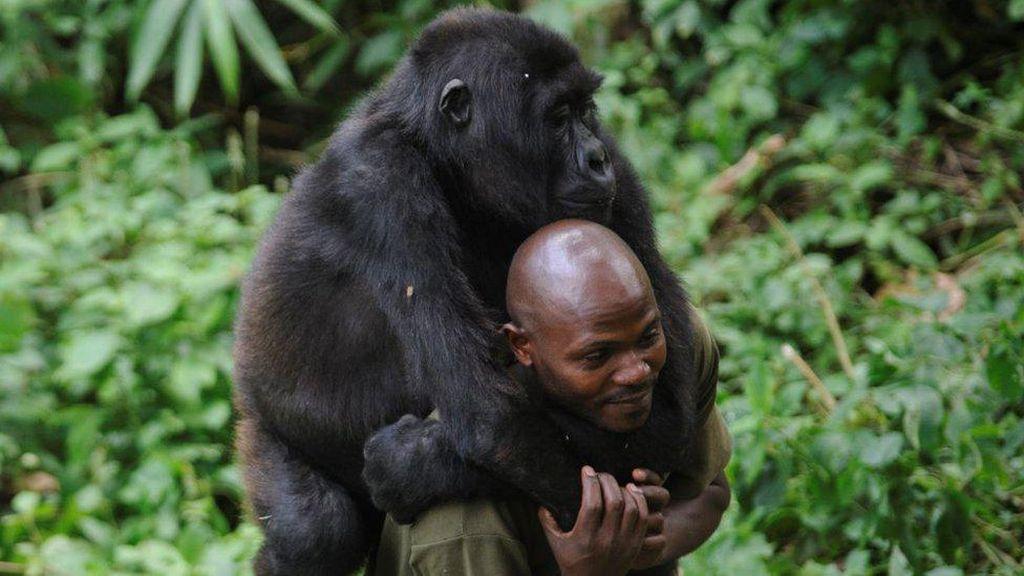 Kisah Penjaga Taman Nasional di Kongo Bertaruh Nyawa Demi Lindungi Gorila