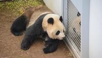 Setelah 4 Tahun, Panda di Kebun Binatang Ini Mau Kawin