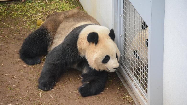Panda di Ueno Zoo