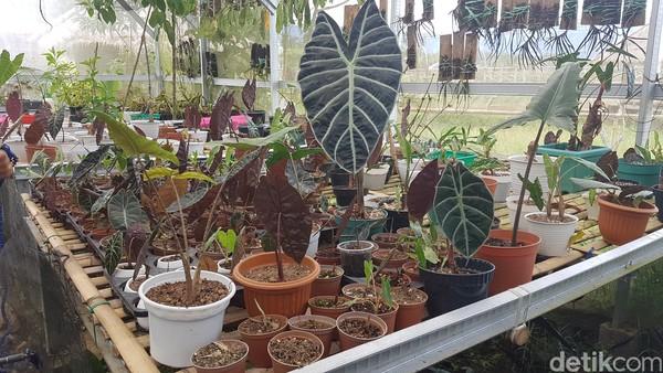 Salah satu pengunjung, Rahmayani mengaku takjub dengan pengelolaan tanaman anggrek di TBO. Dia bersyukur, lantaran di tempat ini bisa mendapat informasi terkait tata cara merawat tanaman anggrek.