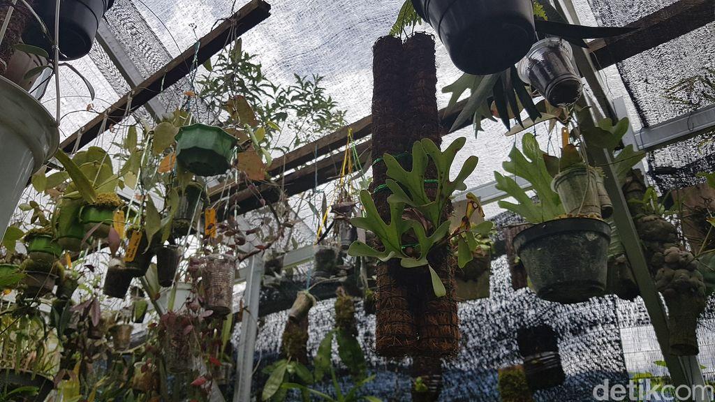 Tondok Bakaru Orchid di Mamasa