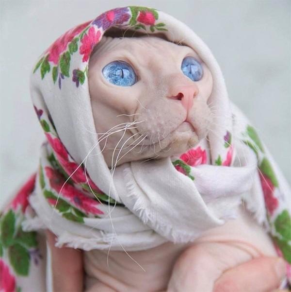 Matching banget babushka-nya dengan warna kulit si kucing. Duh matanya biru banget, indah!