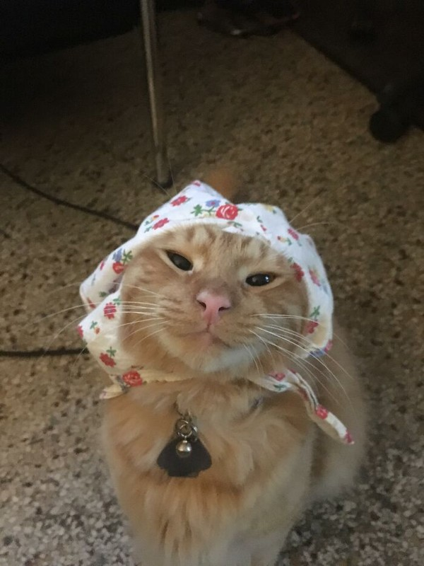 Kayaknya ikatan babushka di kucing ini terlalu kencang deh.