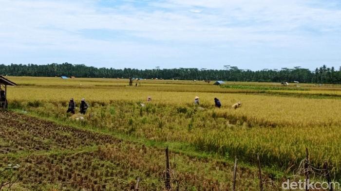 Petani di Pangandaran tengah panen padi. Harga jual gabah di Pangandaran sedang anjlok.