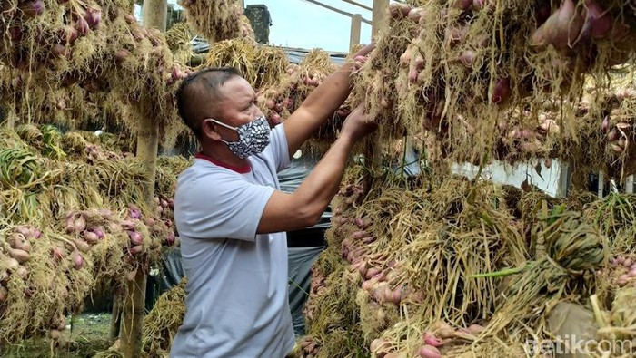 Petani di lereng Gunung Merbabu, Kecamatan Pakis, Kabupaten Magelang, Jawa Tengah, kali pertama memanen bawang merah. Lahan yang dipanen ini seluas 5 hektare.