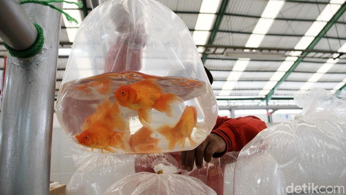 Depok kini memiliki pusat pasar ikan hias. Warga pun berburu ikan hias di pasar yang berada di Pasar Musi, Depok, Jawa Barat, Rabu (10/2).