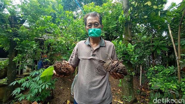 Bonggol pisang berukuran 3 meter di Kudus, Rabu (10/3/2021).