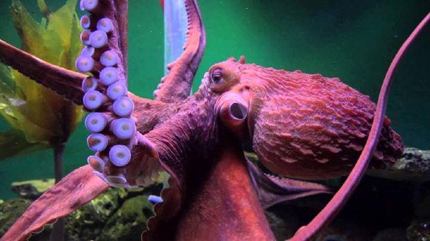 Gurita raksasa sering dianggap memiliki kemampuan supranatural untuk memprediksi masa depan. Ya, tak jarang hewan ini menebak pemenang Piala Dunia.